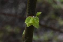 Grünblatt an Ast