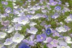 Blumenmeer Ehrenpreis