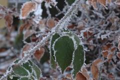 Brombeerblätter mit Frost