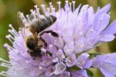 Biene auf lila Bluete