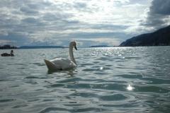 Schwan auf See
