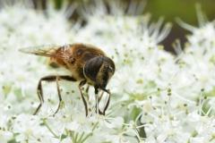 Insekt auf weisser Blüte