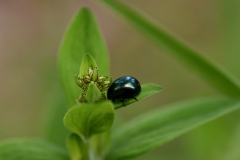 Käfer auf Grünpflanze