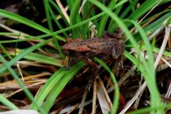 Frosch Braunrot