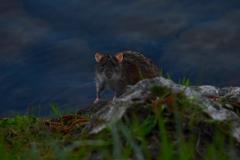 Ratte am Fluss