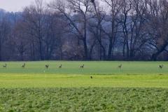 Reh Gruppe rennt auf Feld